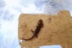 Salamandre en zone humide, Boralde-de-Saint-Chély